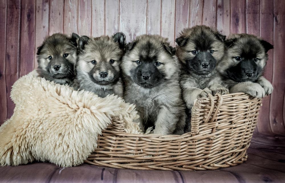 Our Puppies For Sale | Petland Kansas City, Missouri