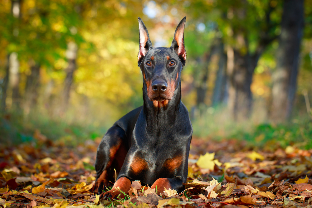 Petland Kansas picture of Doberman Pinscher sitting on leaves and staring at camera.